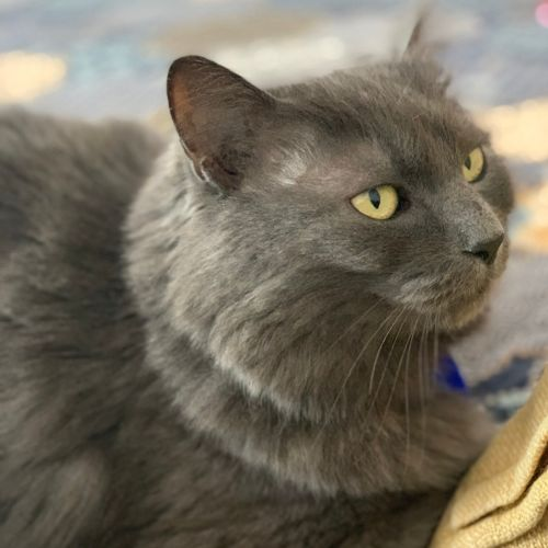 Grace ~ 5yr Old Himalayan X - Himalayan Cat