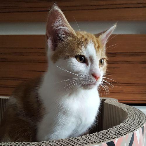 Flame ^^Dandy Cat Rescue^^ - Domestic Short Hair Cat