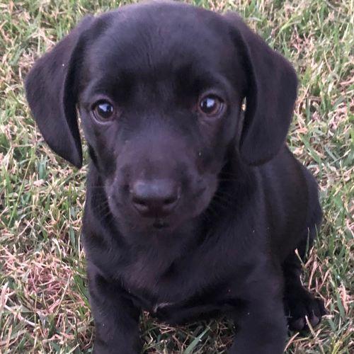 Wesley - Dachshund Dog