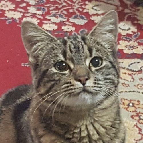 Sass ~ kitten - Domestic Short Hair Cat