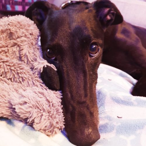 Lucky - Greyhound Dog
