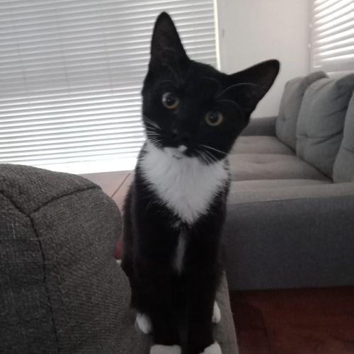 Buzby - Domestic Short Hair Cat