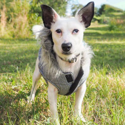 JJ - Jack Russell Terrier Dog