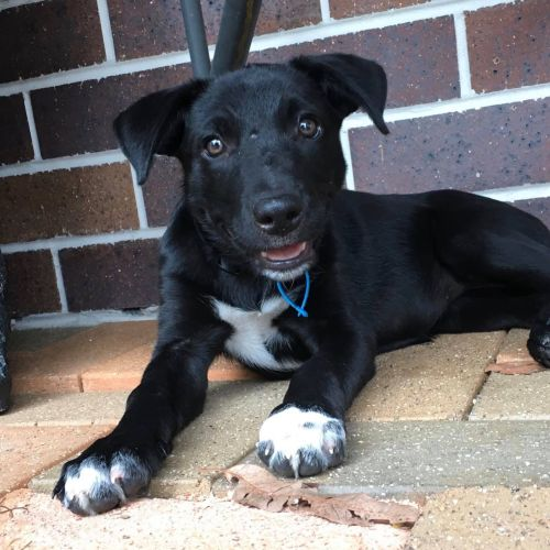 Bindi - Kelpie x Border Collie Dog