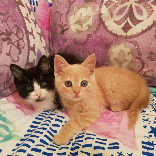 Nacho & Oreo  - Domestic Short Hair Cat