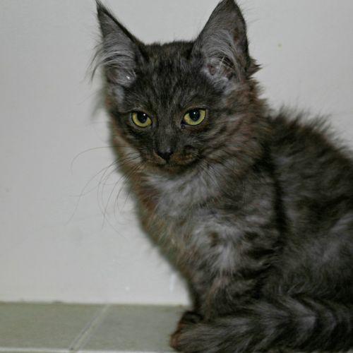 Lynx SK3035 - Ragdoll Cat