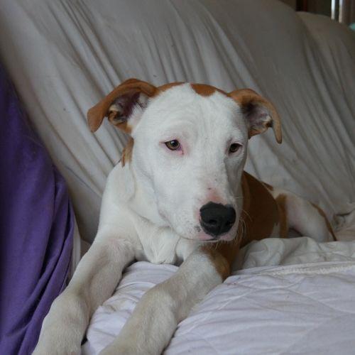 Abbey - Bull Arab Dog