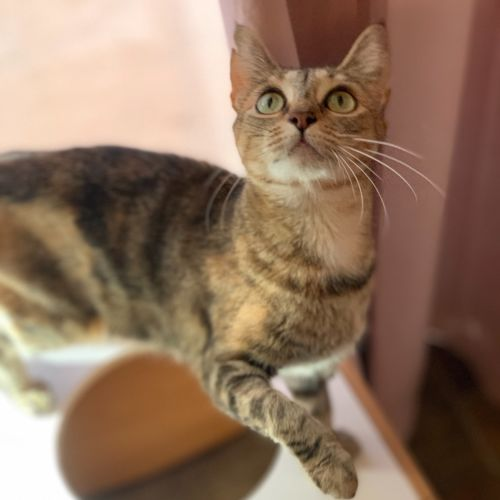 Lacey in care for a year help me! - Domestic Short Hair Cat