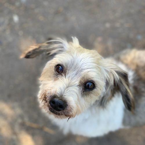 Charles - Maltese x Silky Terrier Dog