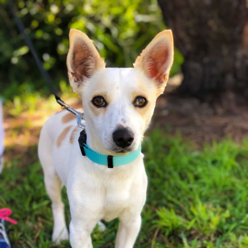 Cutler - Jack Russell Terrier Dog
