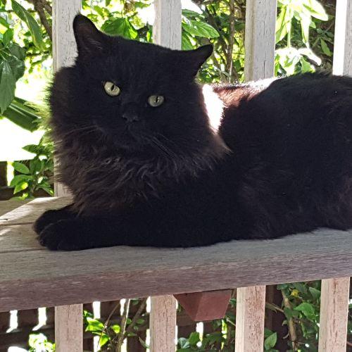 Mahli - Birman Cat