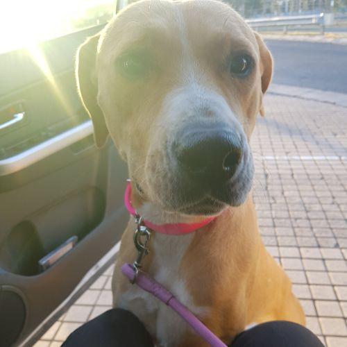 Jessie - Bull Arab Dog