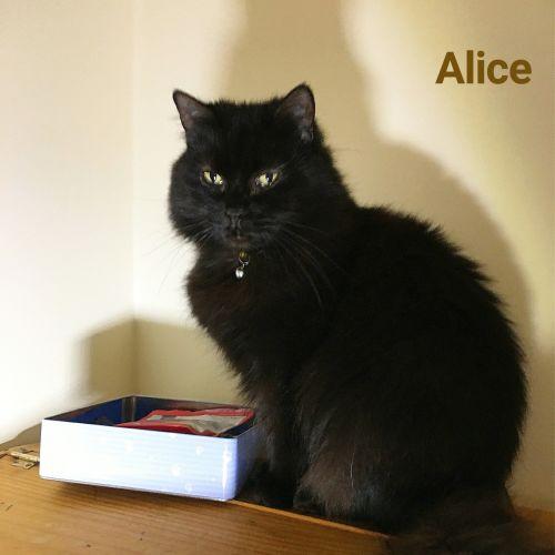 Alice - Domestic Long Hair Cat