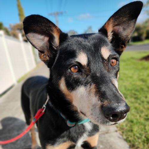 Bobby - Kelpie Dog