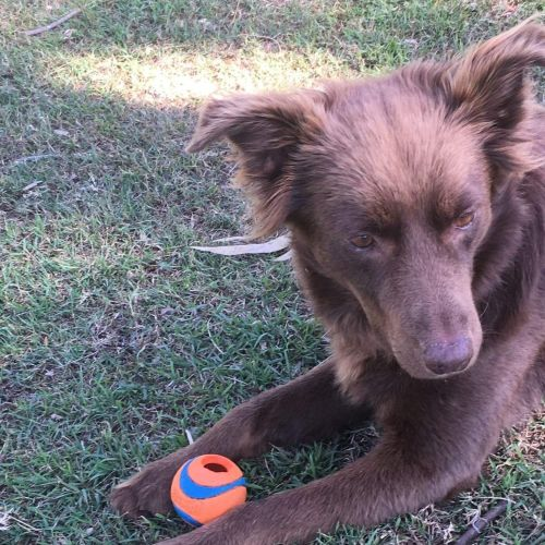 Ruby - Kelpie x Border Collie Dog