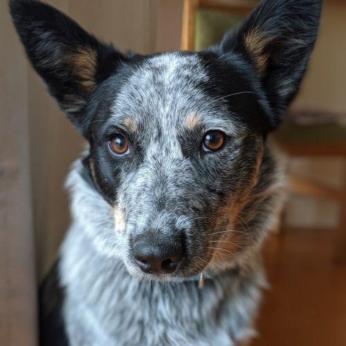 Maggie Doyle  - Australian Cattle Dog x Border Collie Dog