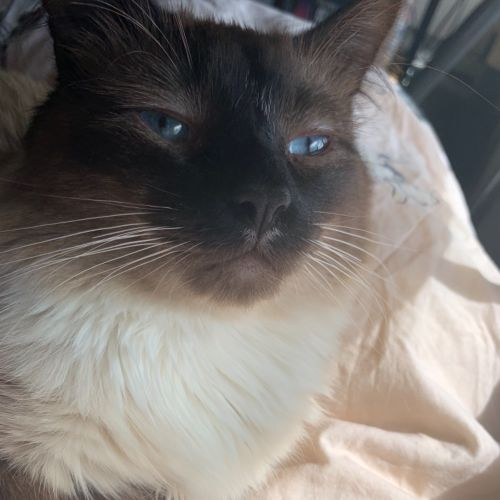 Dante - Ragdoll Cat