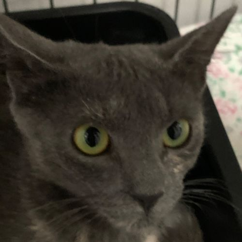 Shmi  - Domestic Short Hair Cat