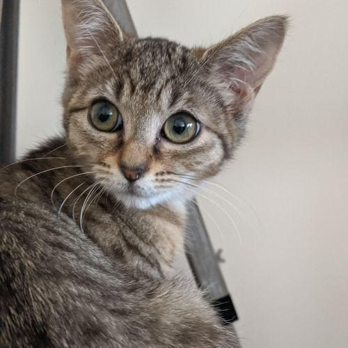 Shiloh **2nd Chance Cat Rescue** - Domestic Short Hair Cat