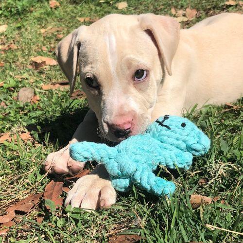 Barley - Mastiff Dog