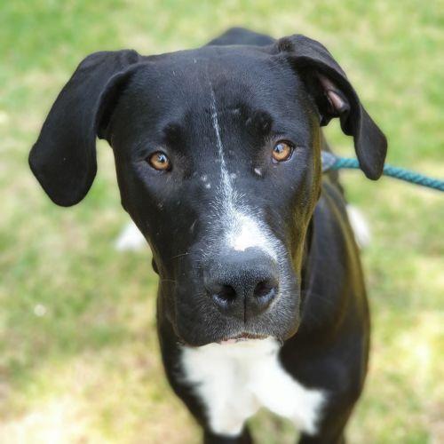 Buster - Great Dane Dog