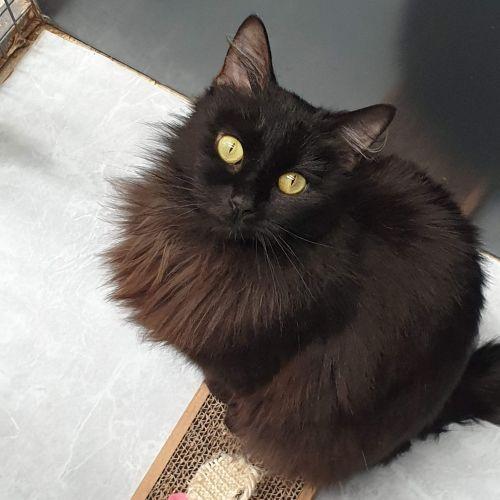 Ebony - Domestic Medium Hair Cat