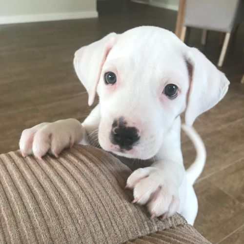 Milko - Mastiff Dog