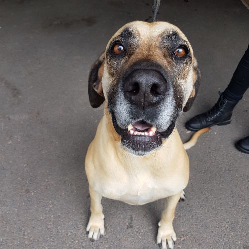 Tia ~ 4 year old Great Dane X Mastiff - Bullmastiff x Great Dane Dog