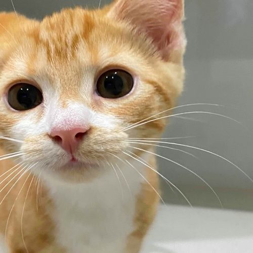 Ginny - Domestic Short Hair Cat