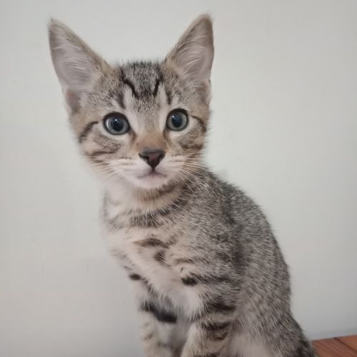 Tiger - Domestic Short Hair x Manx Cat
