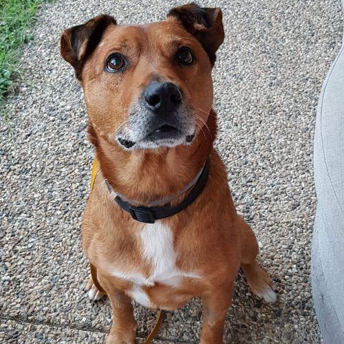 Rocky - Shar-Pei Dog