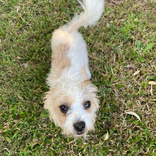 Scotch - Shih Tzu x Jack Russell Terrier Dog