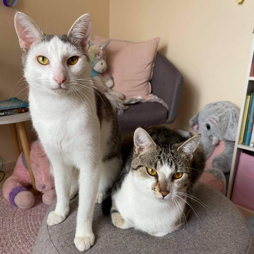 Chevy and Chester - Domestic Short Hair Cat