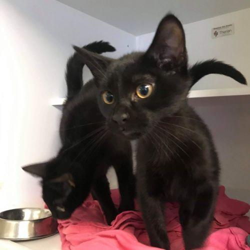 Kitten **2nd Chance Cat Rescue** - Domestic Short Hair Cat