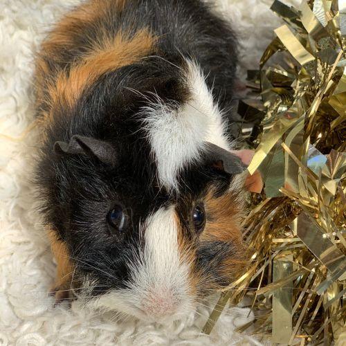 Tweedledum - Abyssinian Guinea Pig