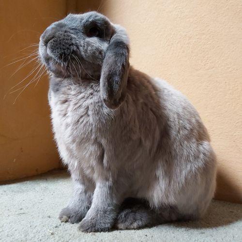 Professor Charlie Plum - Dwarf lop Rabbit