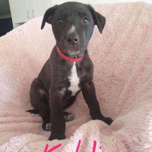 Kahli with Sharelle - Kelpie x Collie Dog