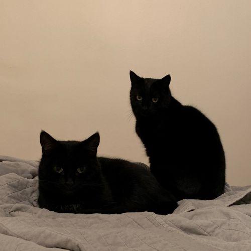 Matilda -  Meet me in Cat Lounge/Neko HQ Preston - Domestic Short Hair Cat