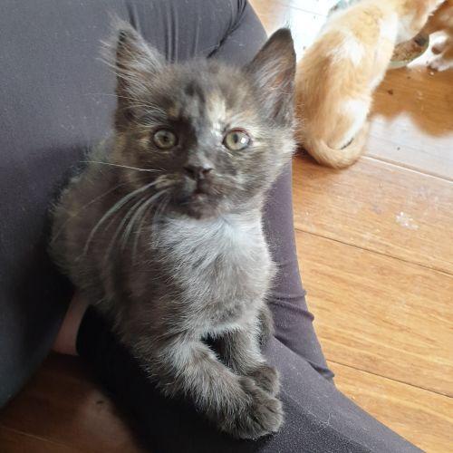 Terra - Located in Preston - Domestic Short Hair Cat