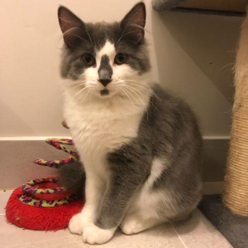 Theodore  - Domestic Medium Hair Cat