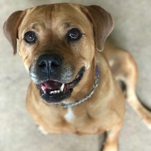 Jordy - Rottweiler Dog