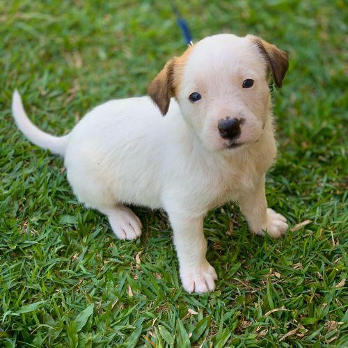 Everest ~ Adoption Pending ~ - Irish Wolfhound Dog