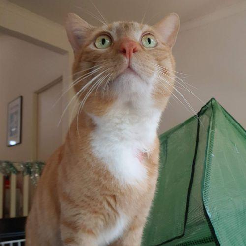 Kami - Domestic Short Hair Cat