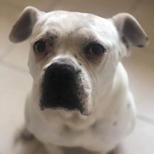 Bella ~ $150 Adoption Fee ~ - American Bulldog