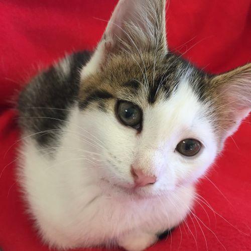 Felipe ^^Dandy Cat Rescue^^ - Domestic Short Hair Cat