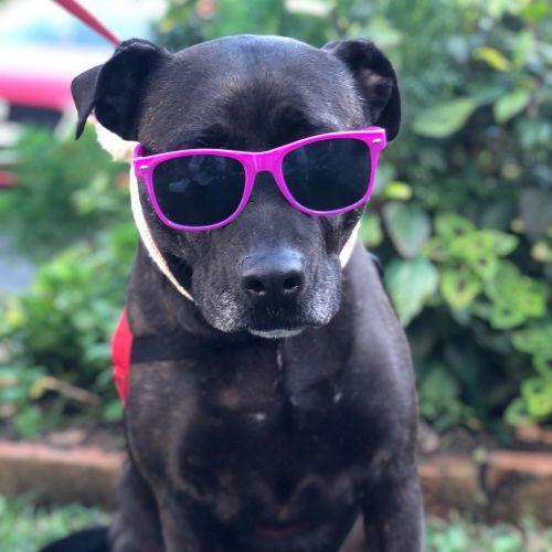 Akira - Staffy Dog