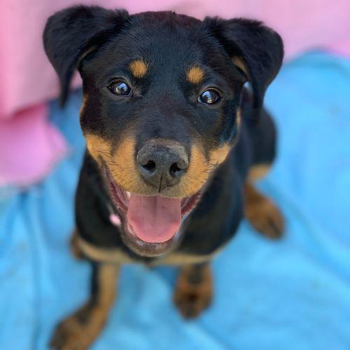 Zara - Rottweiler x Kelpie Dog