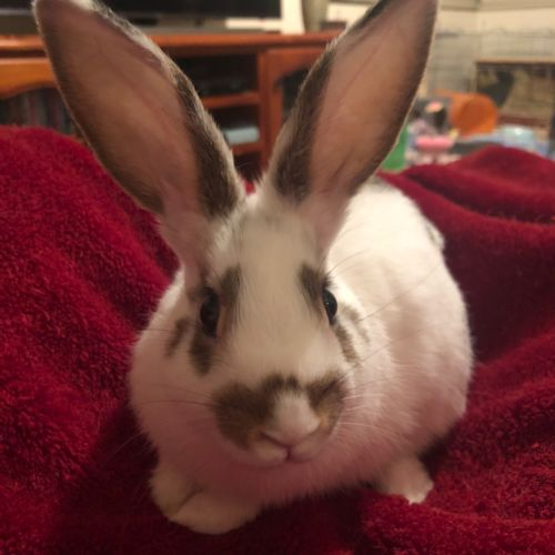 Ariel - Domestic Rabbit