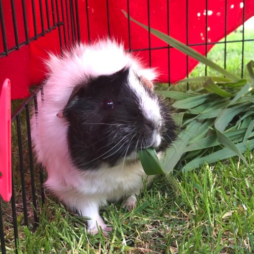 Gerald  - Abyssinian Guinea Pig