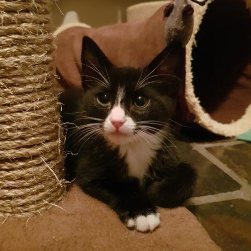 Magic. - Domestic Short Hair Cat
